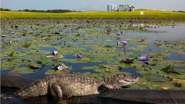 Alligatoren beobachten das Golfspiel